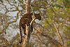 Young Leopard climbing tree. Bandipur  state Park. India.
