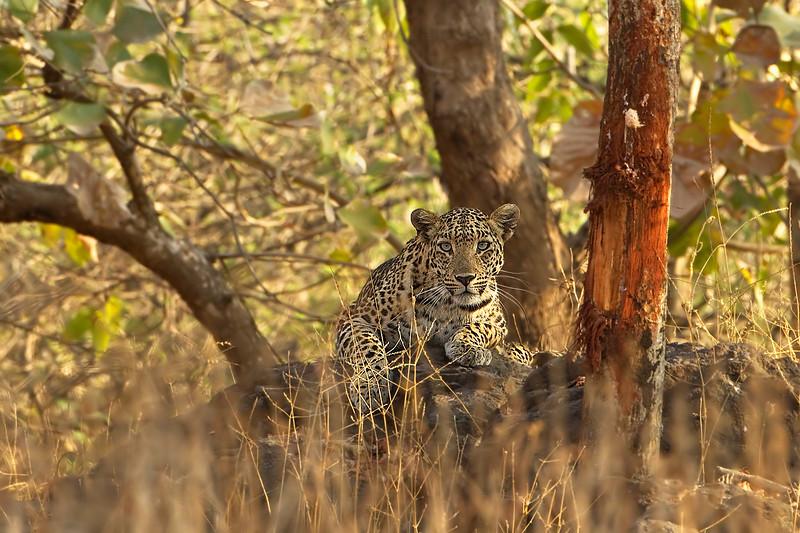Indian Leopard on watch.