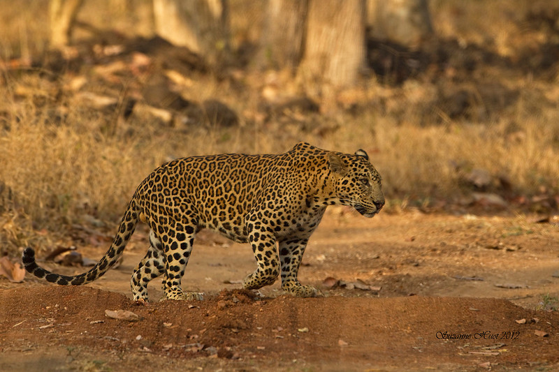 Indian Leopard on the prowl .