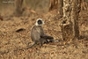 Langur monkey mother.