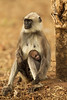 Langur with newborn .