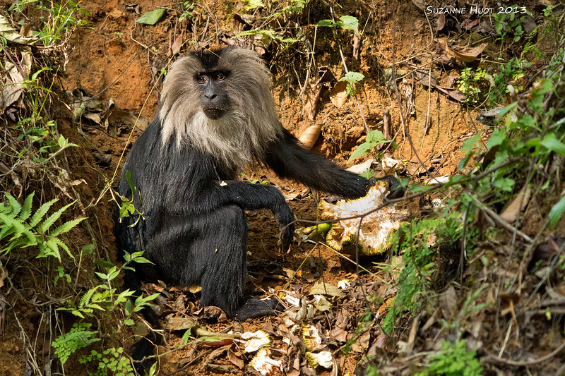 Lion tailed Macaque eating Jack fruit