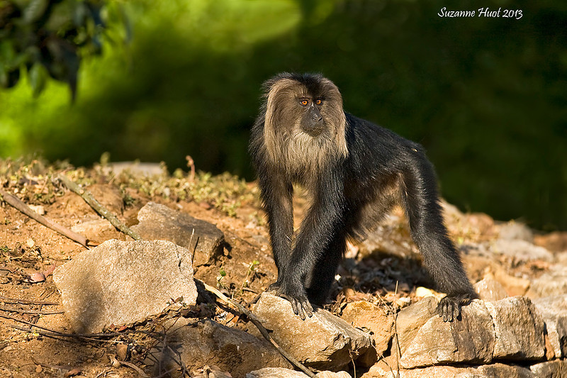 Lion-tailed Macaque.