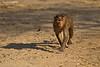 Bonnet  Macaque. on a mission.