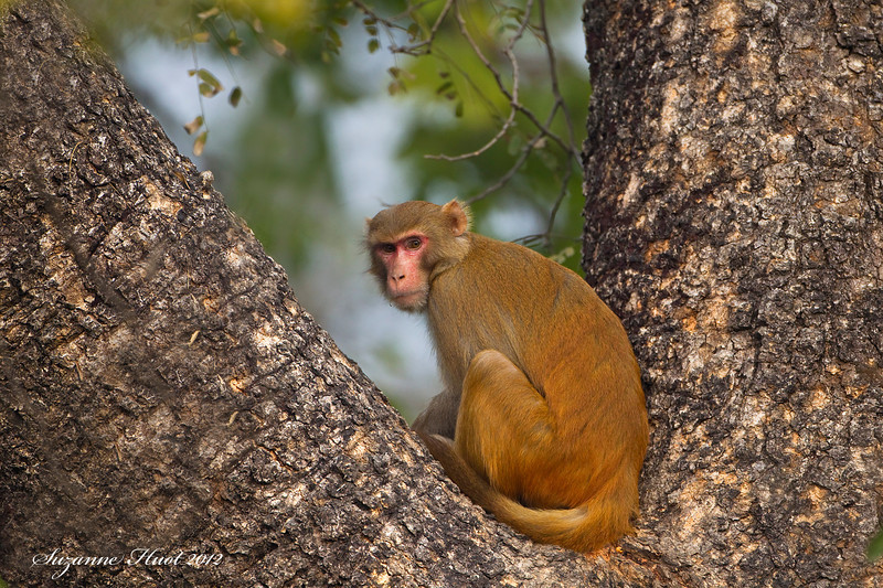 Rhesus Macaque Monkey .Most commonly found monkey in India. .