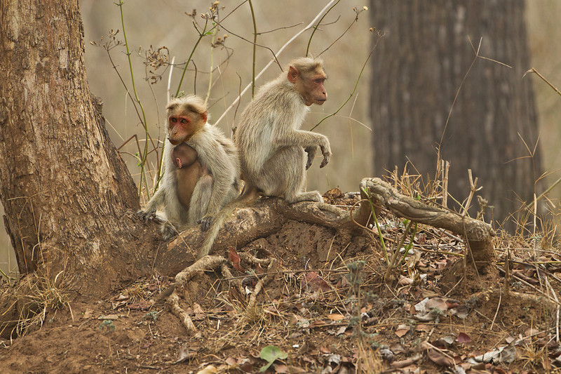 Foggy morning in the jungle for this Macaque Family.