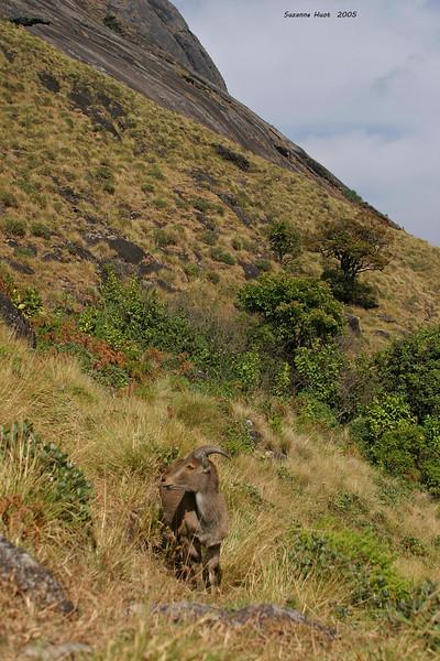 Nilgiri Tahr habitat in the Western Ghats .