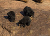 Sloth Bear mother with her two year old cubs.