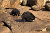 Sloth Bear's .Mother and Daughter..