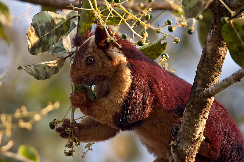Malabar giant Squirrel  snacking on small fruit.