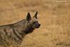Striped Hyena portrait.