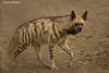 Striped Hyena.