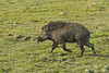 Wild Boar on a mission.
