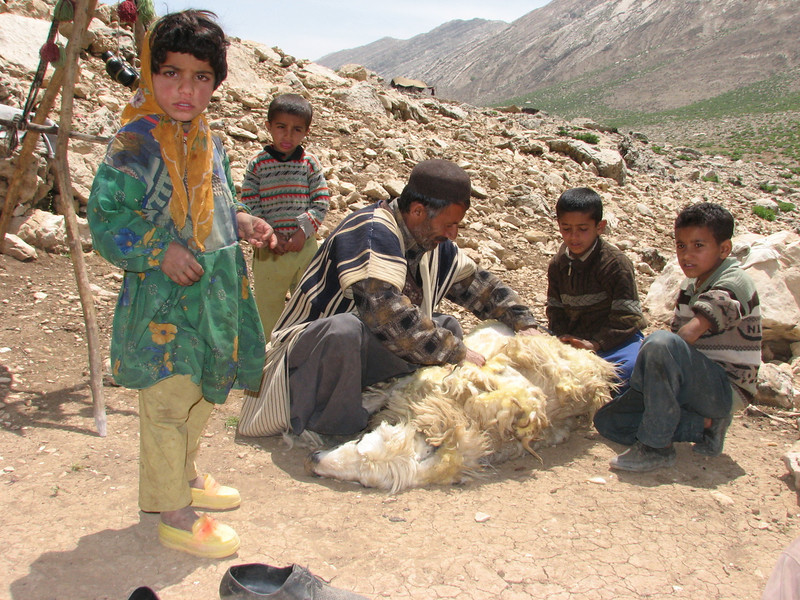 nomads have many children (sheep shearing, Bazoft valley)