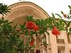 Punica granatum flowers (Kashan)