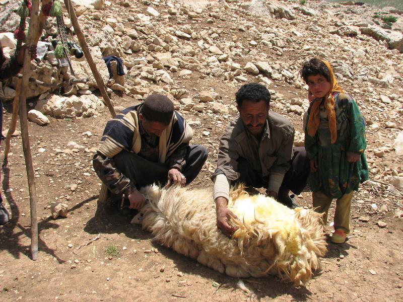 sheep hair shearing (Bazoft valley)