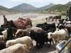 goats trafic (nomadherds)