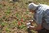 Tulipa stapfii (Aligudarz)