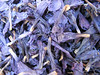 close up of dried petals of a Echium spec.