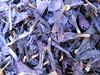 close up of dried petals of a Echium spec.