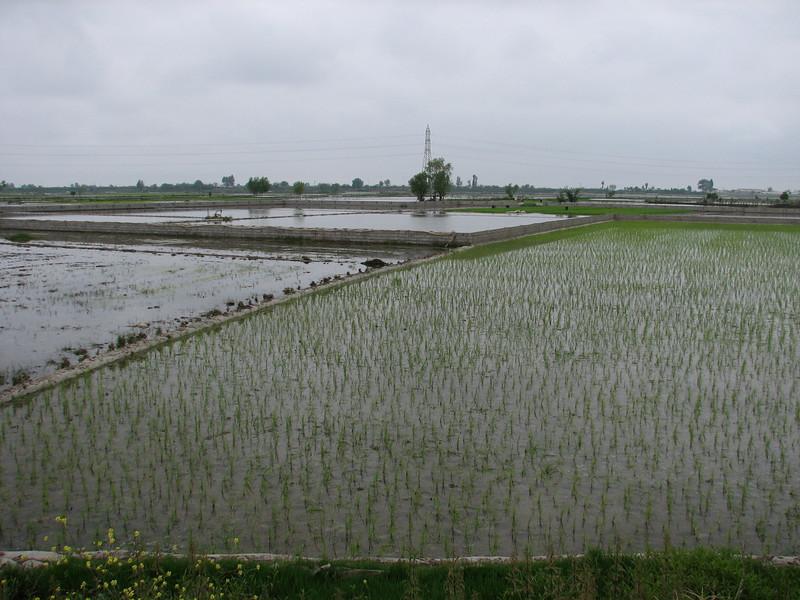 rice plantations (Babol - Amol, N.Iran)