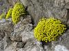 Dionysia aretioides (Veresk, Elburz mountains N. Iran  2009)