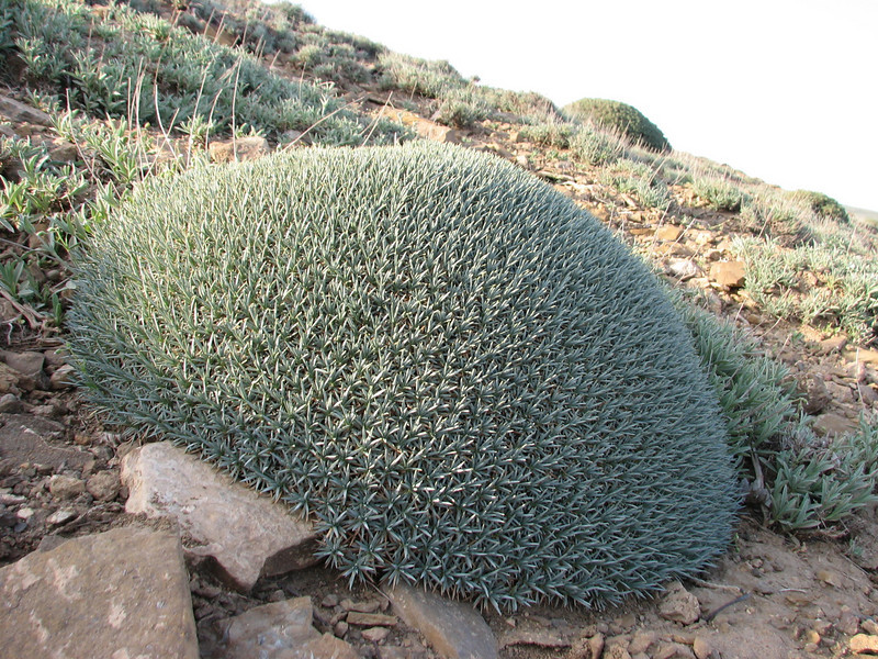 Acantholimon embergeri , a thorn cushion (Khosh yeylaq, East Elburz, NE Iran)
