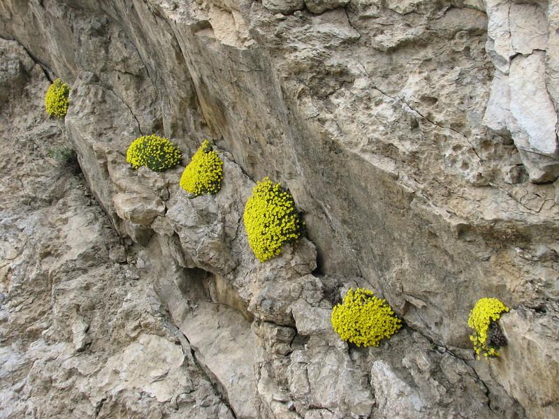 cushions of Dionysia aretioides (Veresk, Elburz mountains N. Iran  2009)