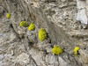 cushions of Dionysia aretioides (Veresk, Elburz mountains N. Iran  2009)