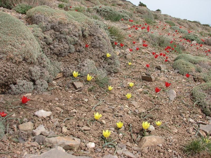 red an yellow tulips (Tulipa montana) (near the Olang pass, East Elburz, NE Iran)