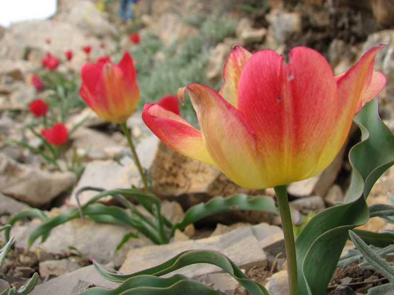 many colour variations (Tulipa montana) (near the Olang pass, East Elburz, NE Iran)