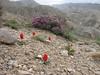 Tulipa montana ( Koppe Dag mountains NE Iran)