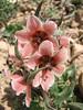 Fritillaria gibbosa ( Koppe Dag mountains NE Iran)