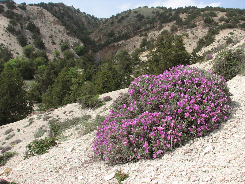 thorn cushion of Onobrychis cornuta in flower (protected area Jahan Nama, Elburz, N.Iran)