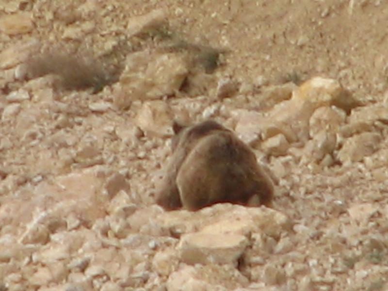 Brown Bear (Tash pa'in, East Elburz, N.Iran)