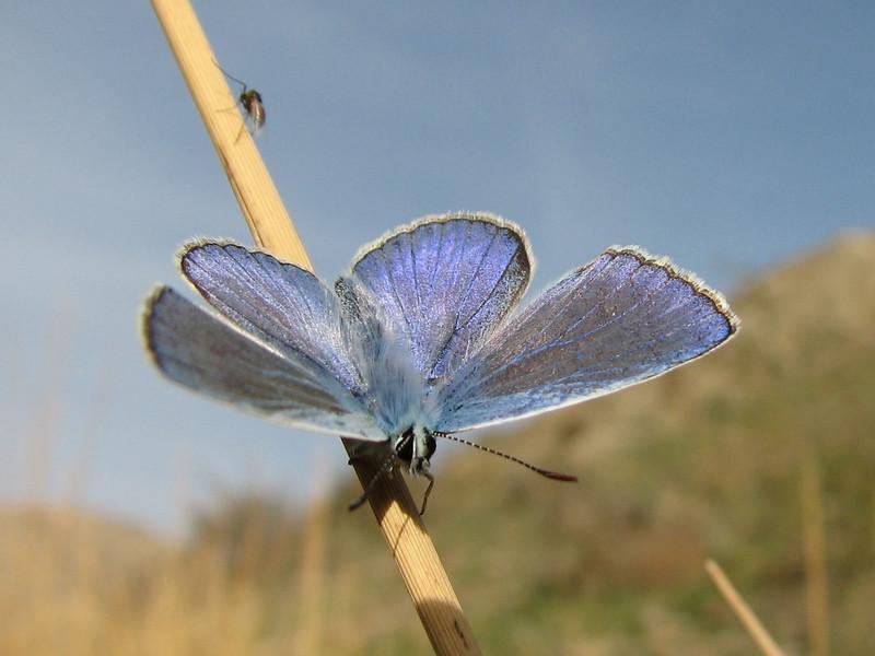 warming up of a Blue butterfly  (Tash pa'in, East Elburz, N.Iran)