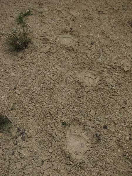 footprints of the Brown Bear (Tash pa'in, East Elburz, N.Iran)