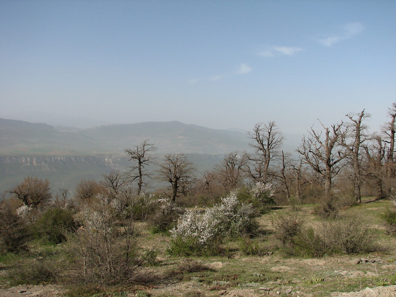forest with real oaks and Prunis spinosa in blossom (W site of the protected area Jahan Nama, Elburz, N.Iran)