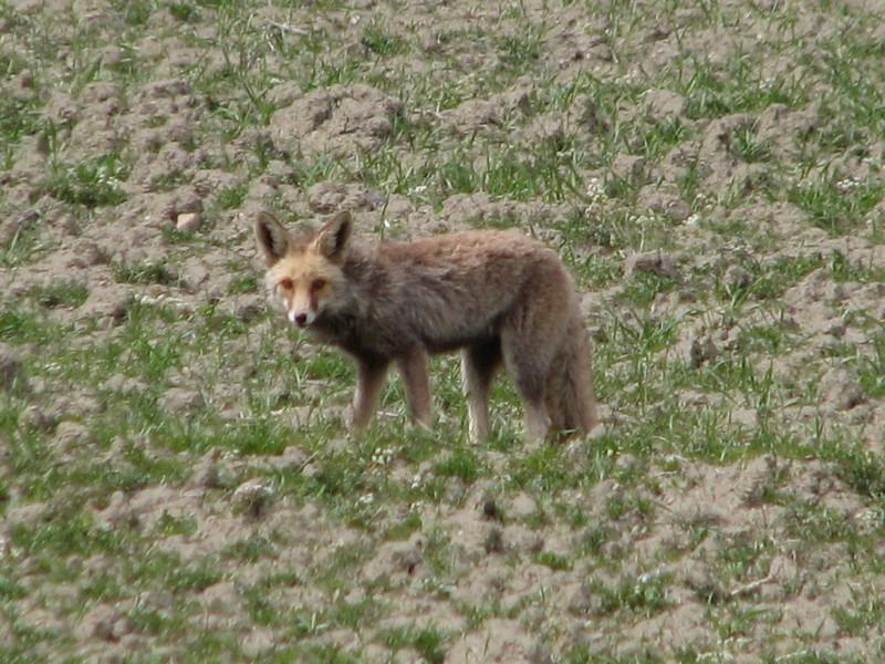 Fox, Reinaert de Vos (Koppe Dag mountains NE Iran)