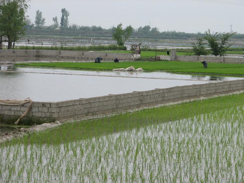 rise plantations (Babol - Amol, N.Iran)