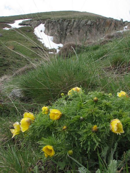 Adonis spec. cf. wolgensis (Iran, Ardabil, Kuh-e-Sabalan mountains S of Lahrud, 2600m vulcanic (10)