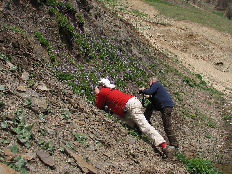take a picture of Primula auriculata Iran, Gilan, Elburz mountains, pass, SE of Masuleh 2200m (6)