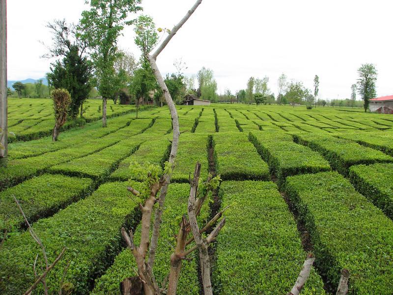 Tea plantages near Rasht to the Caspian see (Iran,Gilan, Elburz mountains)