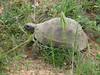 Testudo graeca, Spur-thighed tortoise