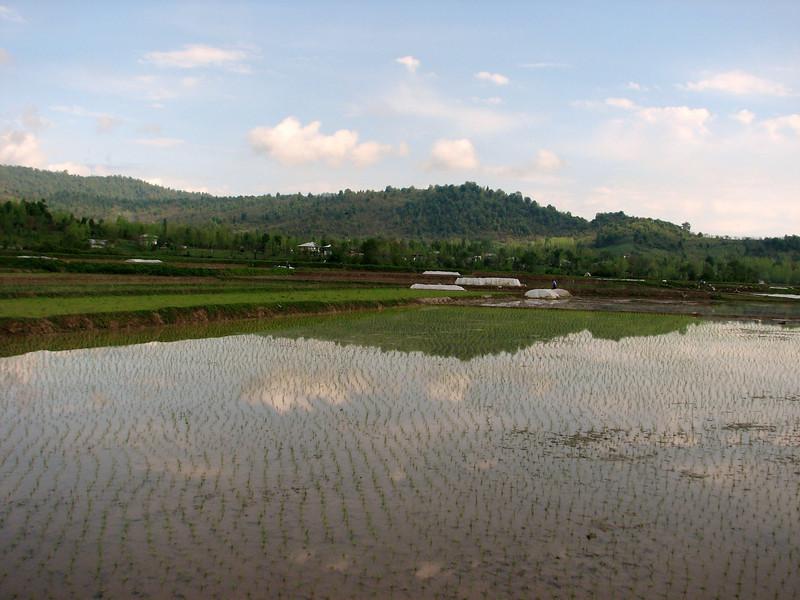 rice fields, Fuman-Asalem, near the Caspian Sea(Iran, Gilan, Tales mountains)