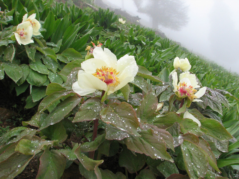 Paeonia wittmaniana ?(Iran, Gilan, Tales mountains, pass, SW of Asalem 2030-2380m (7)