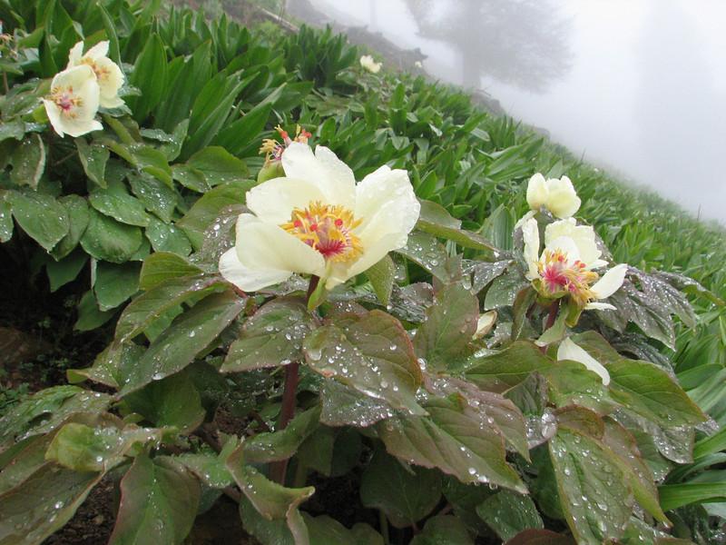 Paeonia wittmaniana ?(Iran, Gilan, Tales mountains, pass, SW of Asalem 2030-2380m (7)
