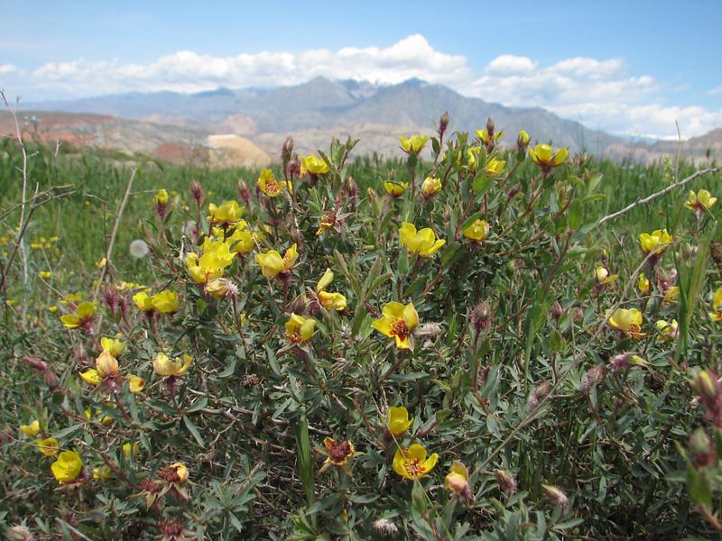 Rosa persica (Iran, Azarbayjan-e-Gharqi, mountains 15 km S of Siyah Rud, 1400m (18)