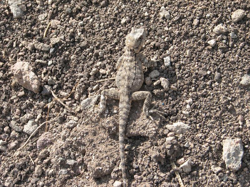 Trapelus agilis, (brilliant ground agama) (Iran, Qazvin, Sendan mountains, near Gilavan, W of Sefid Rud Reservoir (40)