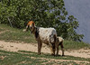 Red-head Sheep:-)